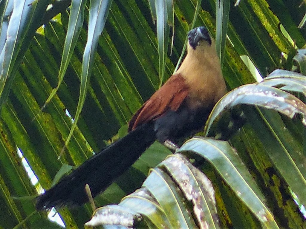 Black-faced Coucal - Gregory Laude