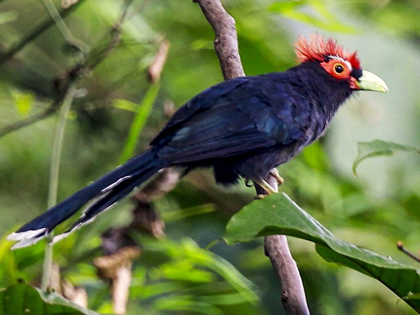 Red-crested Malkoha - Carmelo López Abad