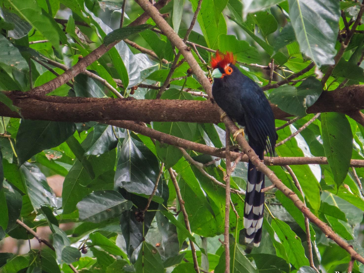 Red-crested Malkoha - Erickson Tabayag