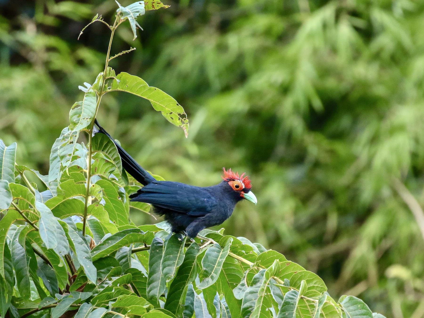 Red-crested Malkoha - Shannon Fair