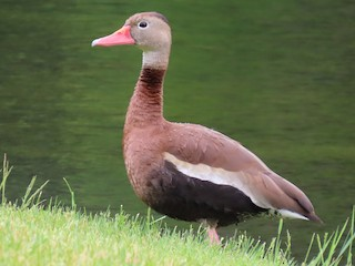 Black-bellied Whistling-Duck, ML349357101