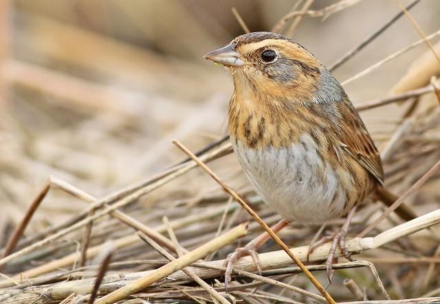 Nelson's Sparrow (Interior)