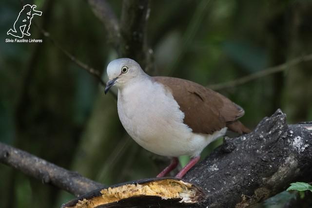 Pallid Dove