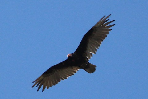Turkey Vulture - Charlotte Croshaw