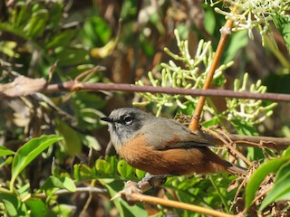 - Russet-bellied Spinetail