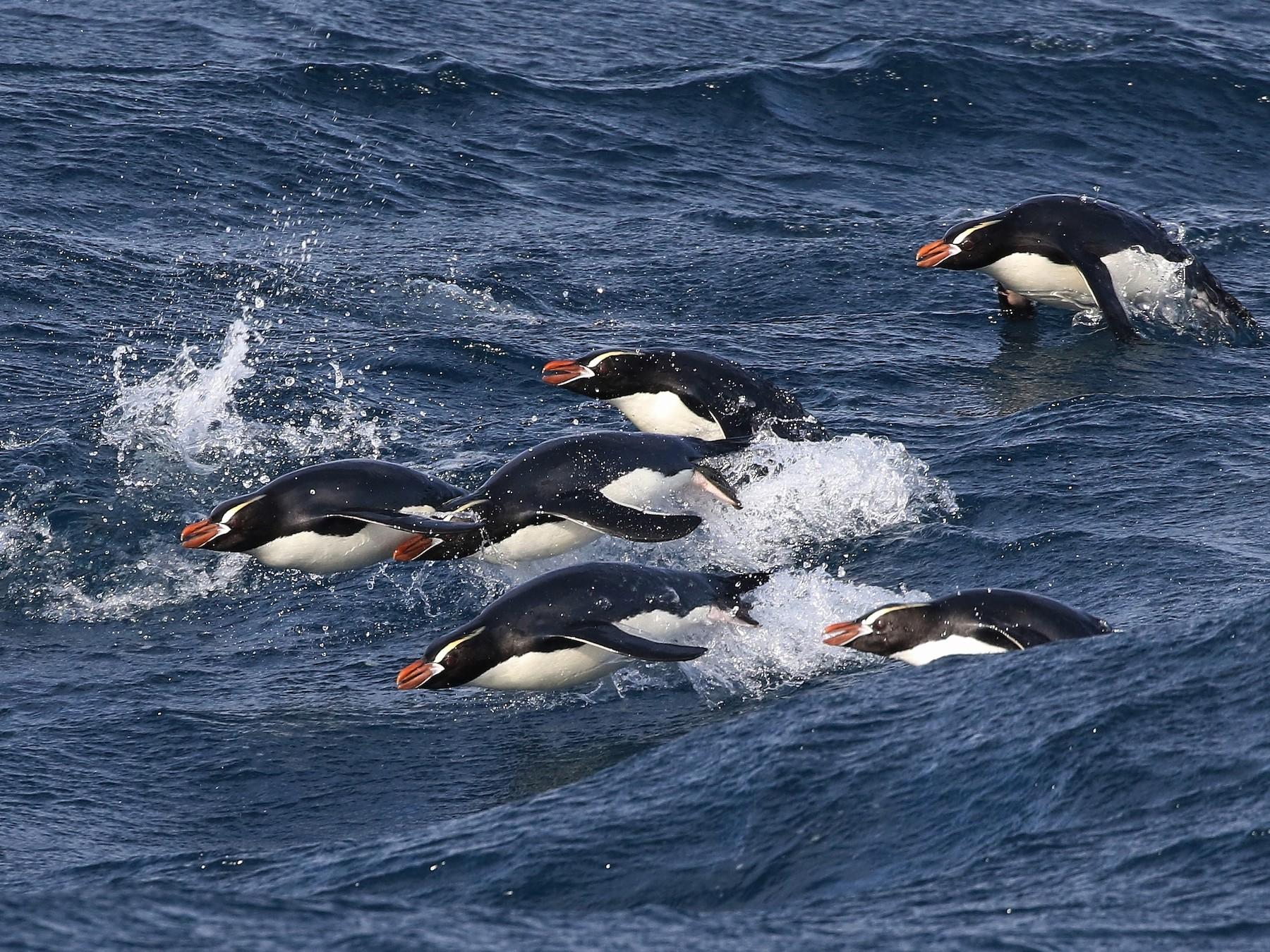 Erect-crested Penguin - John Martin