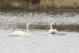 Tundra Swan, ML349745661