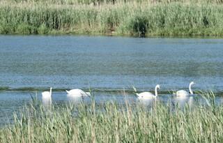 Mute Swan, ML349769331