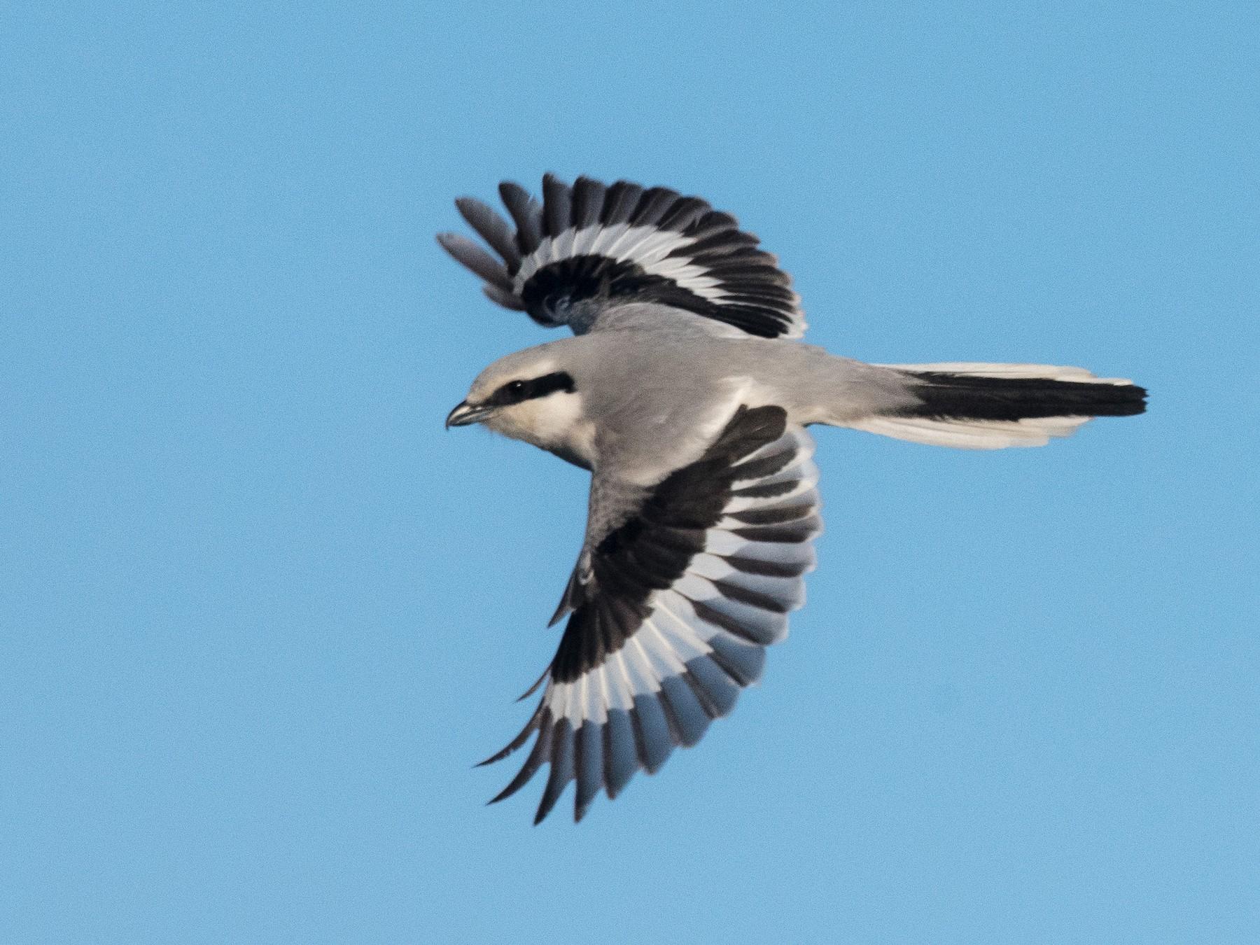 Chinese Gray Shrike - yann muzika