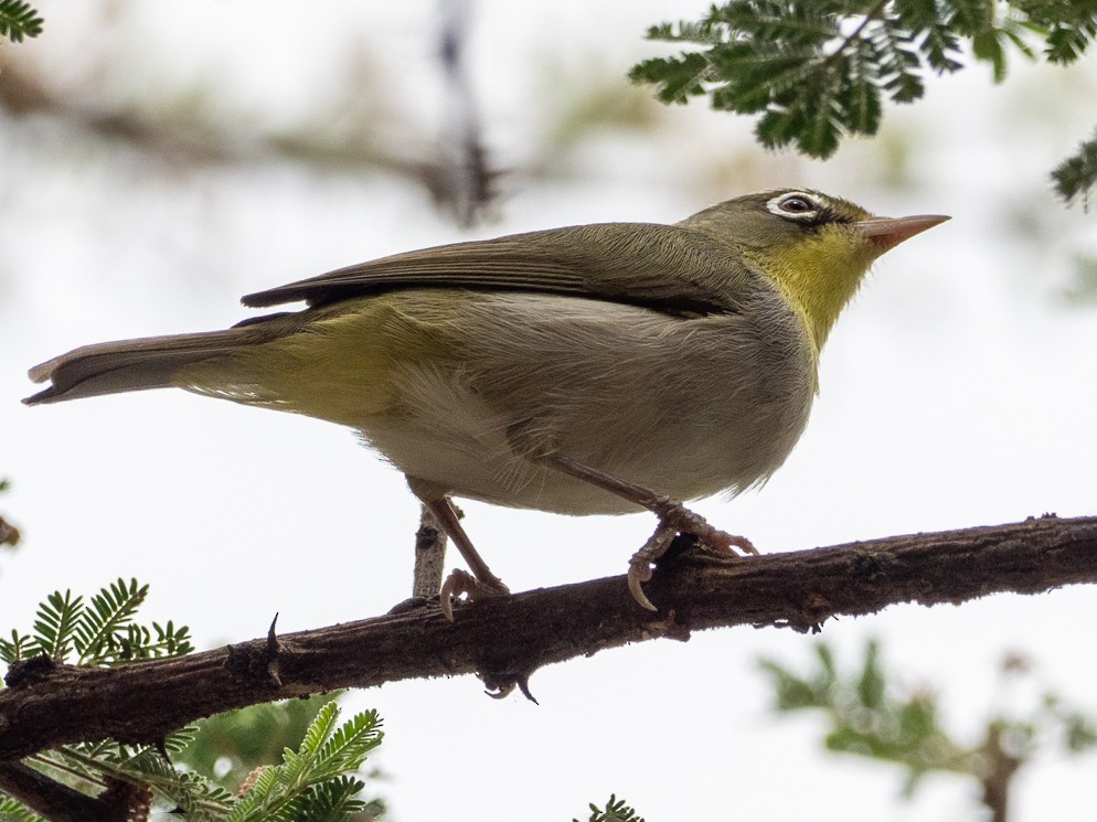 Abyssinian White-eye - Forest Jarvis