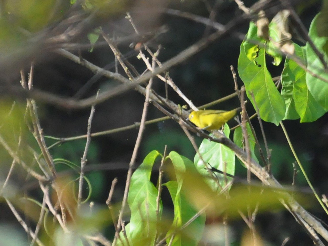 Forest White-eye - Andres Angulo Rubiano