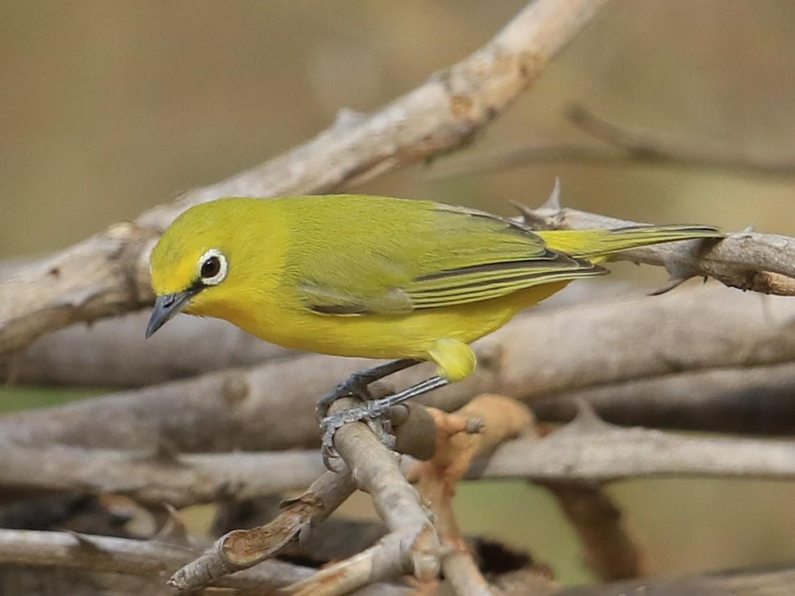 Northern Yellow White-eye - Fanis Theofanopoulos (ASalafa Deri)