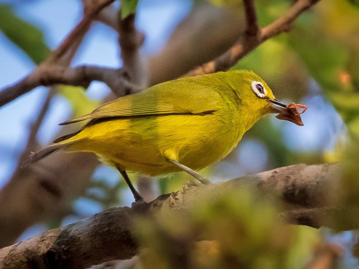 Southern Yellow White-eye - Michael Ortner