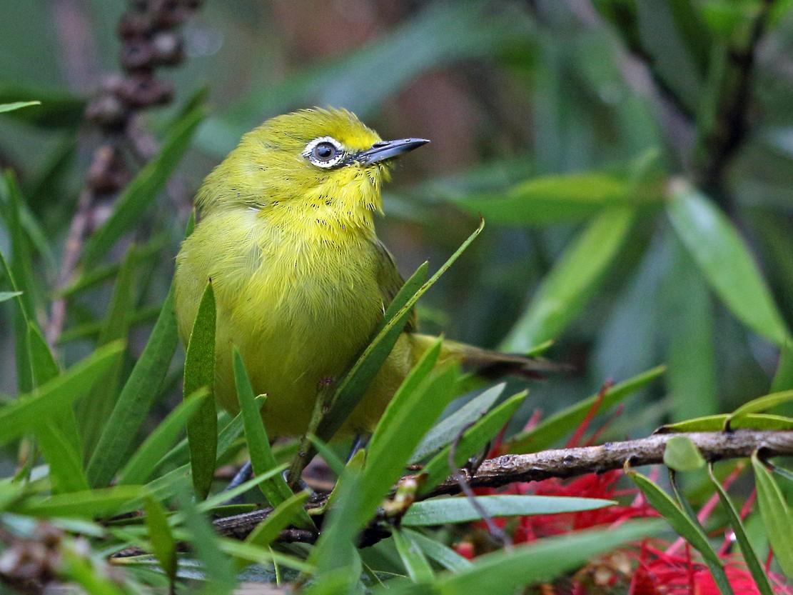 Southern Yellow White-eye - Nigel Voaden