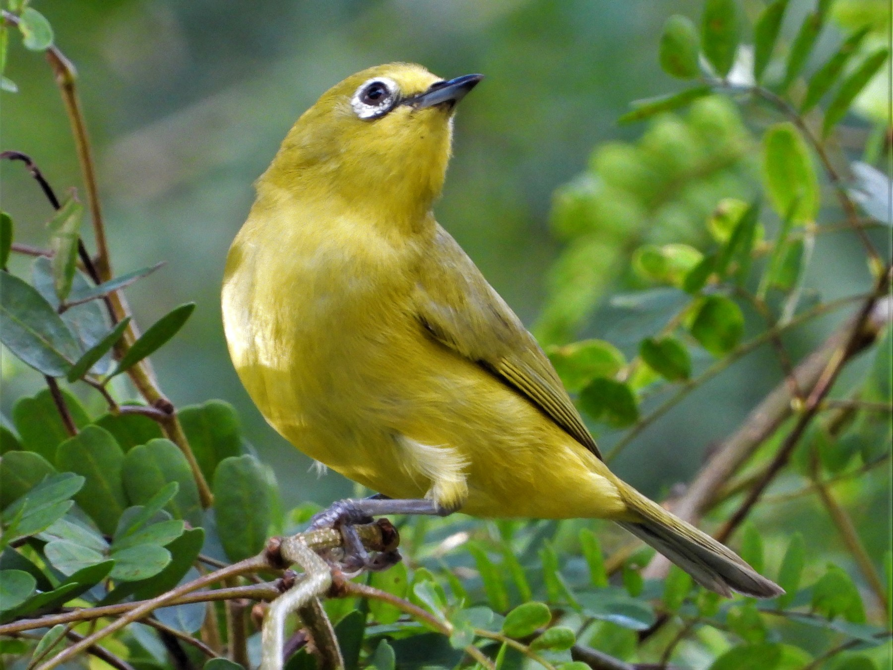 Southern Yellow White-eye - Dean Martin