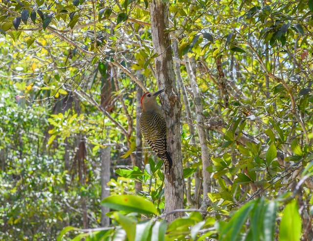 Exemplar forest habitat: North Side, Cayman Islands.
