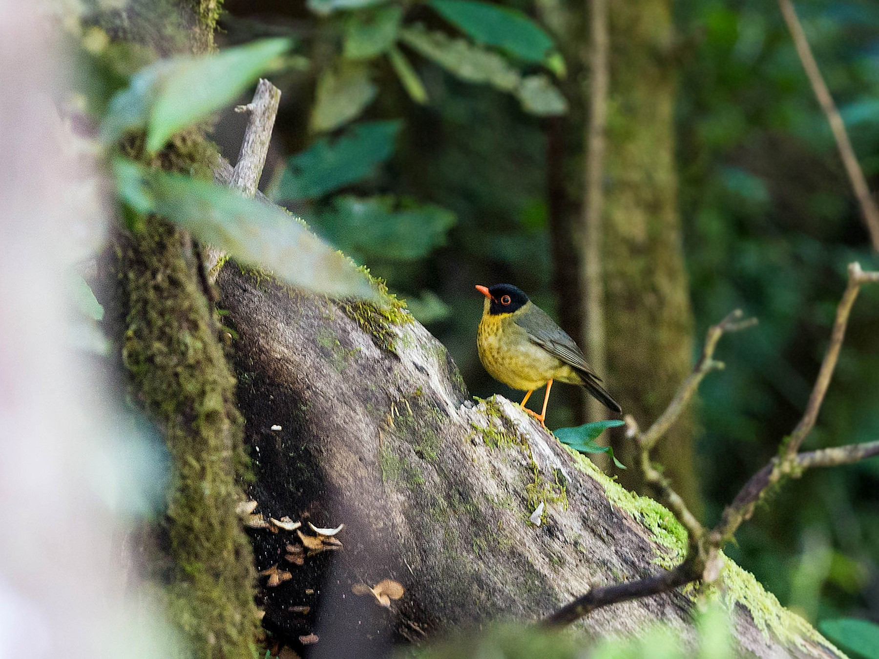 Yellow-throated Nightingale-Thrush - William Clark
