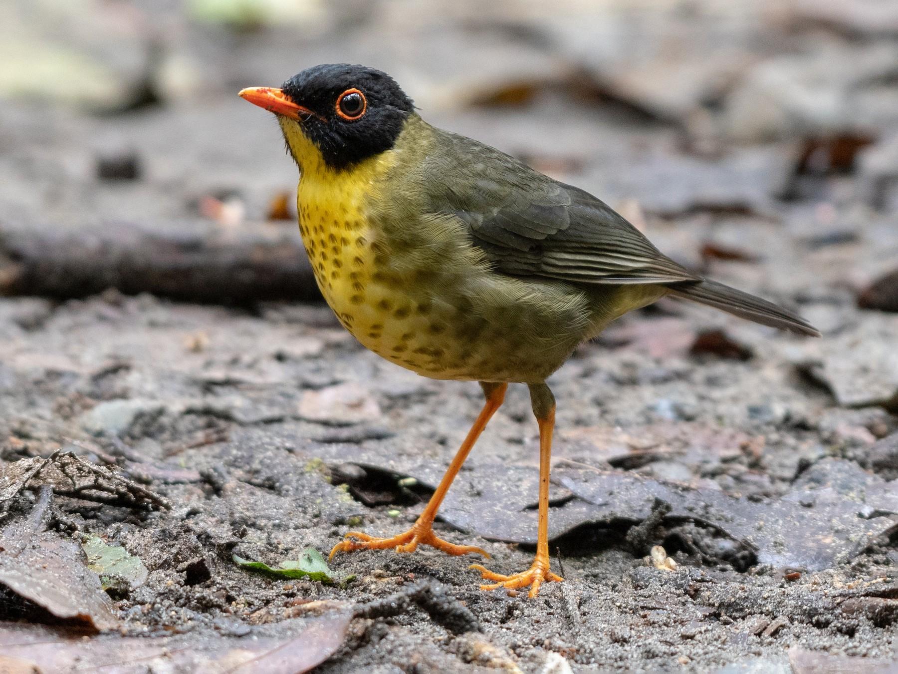 Yellow-throated Nightingale-Thrush - Ana Paula Oxom