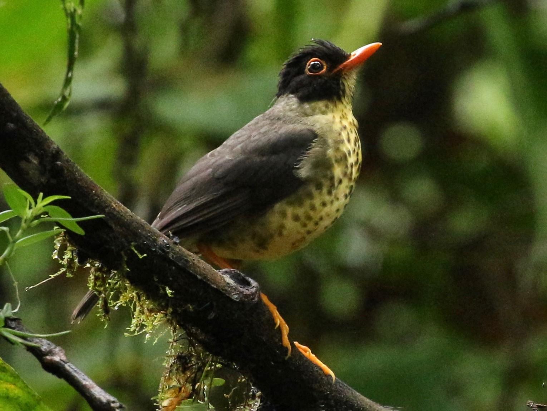 Speckled Nightingale-Thrush - Jon Pleizier