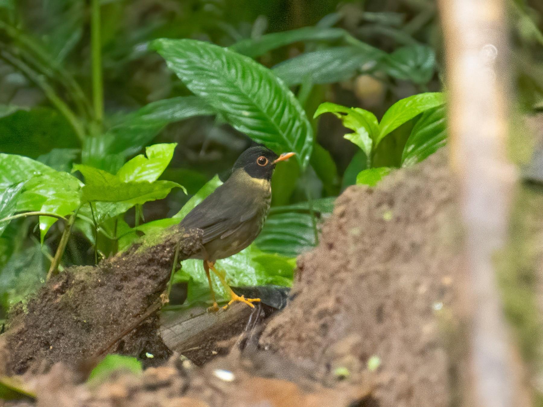 Speckled Nightingale-Thrush - Fran Hartshorn
