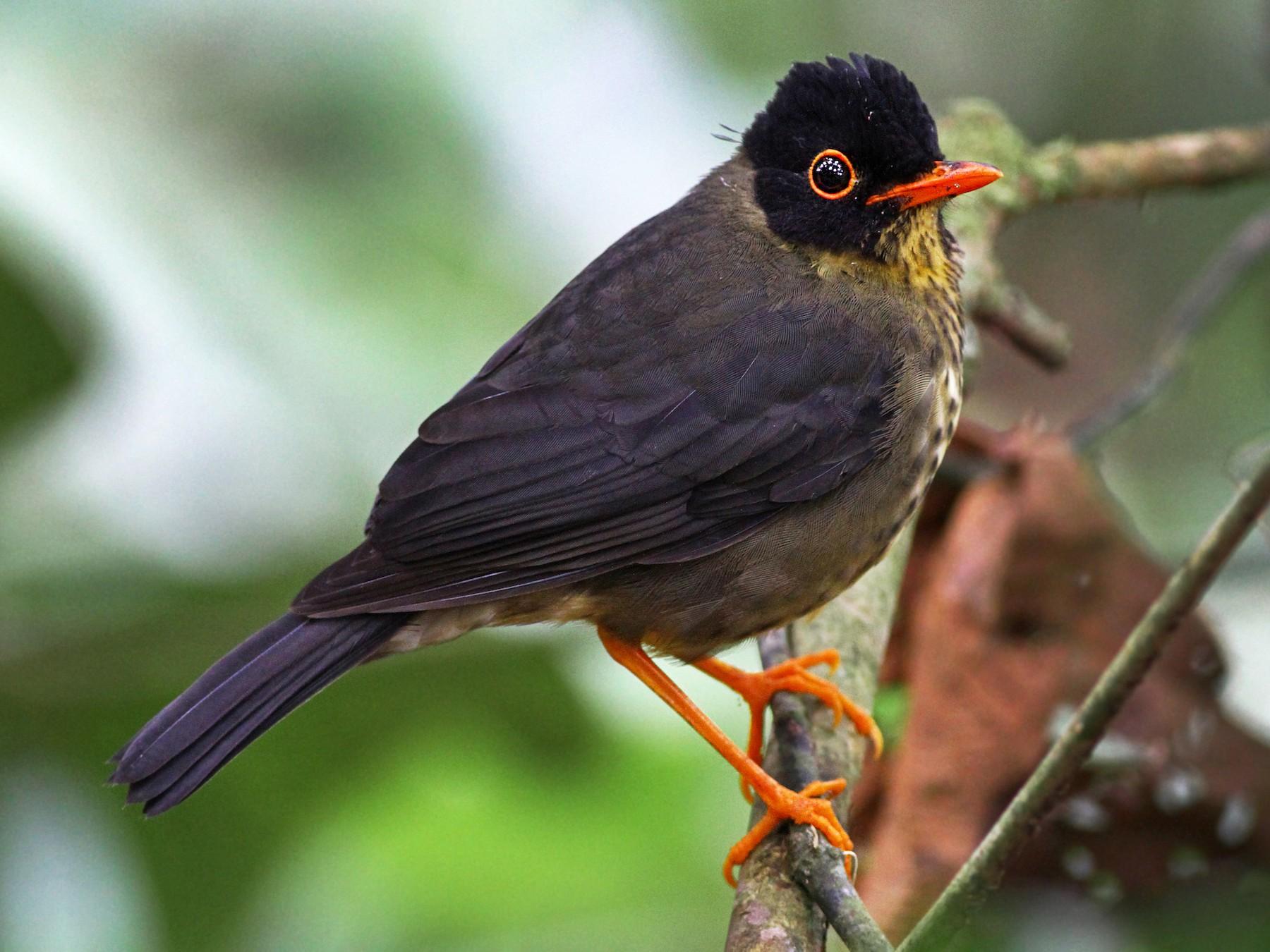 Speckled Nightingale-Thrush - Andrew Spencer