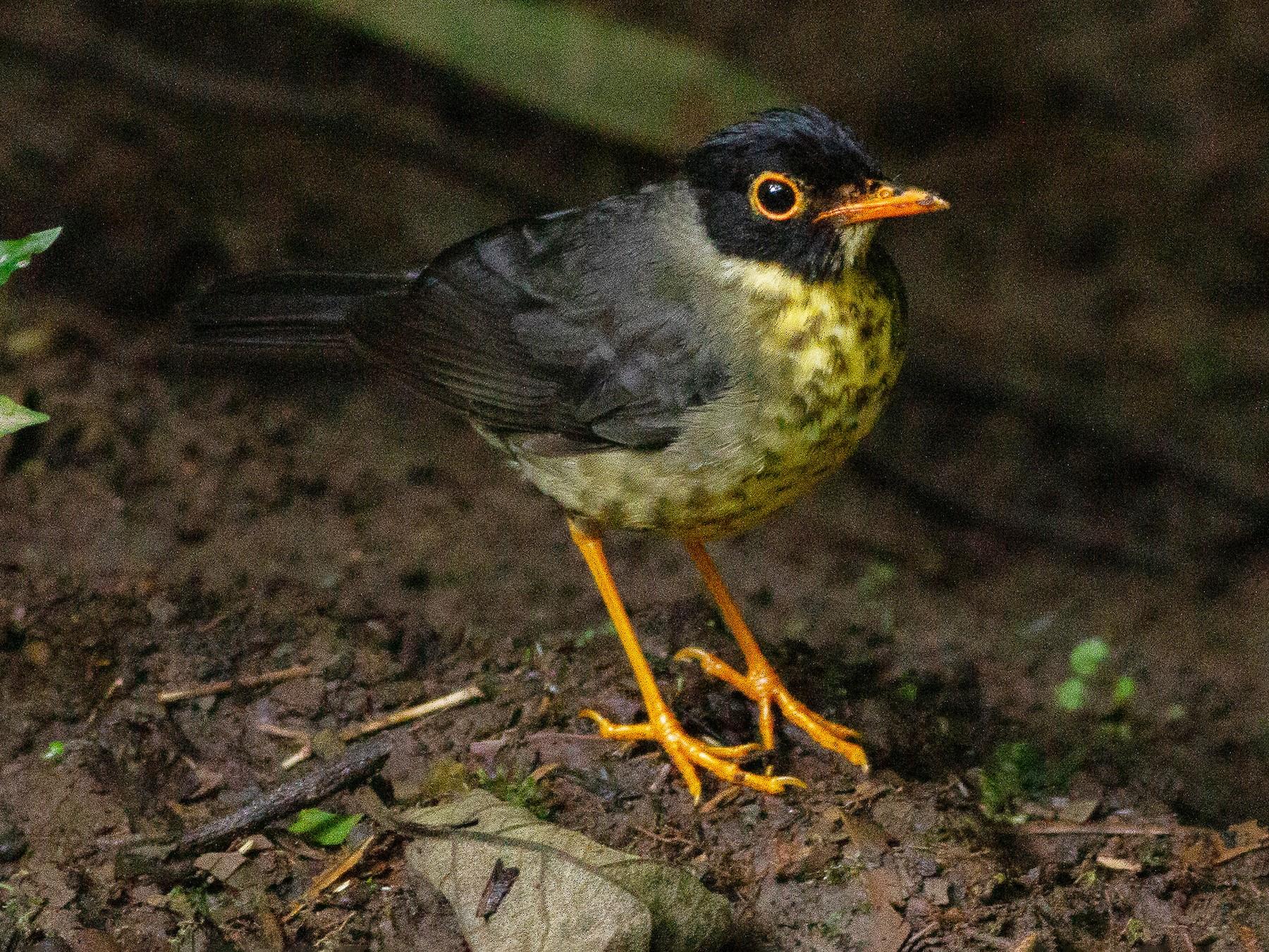Speckled Nightingale-Thrush - Angus Pritchard
