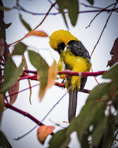 Hooded Oriole - James Kendall