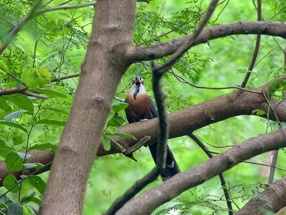 Scale-feathered Malkoha - Vivek Menon