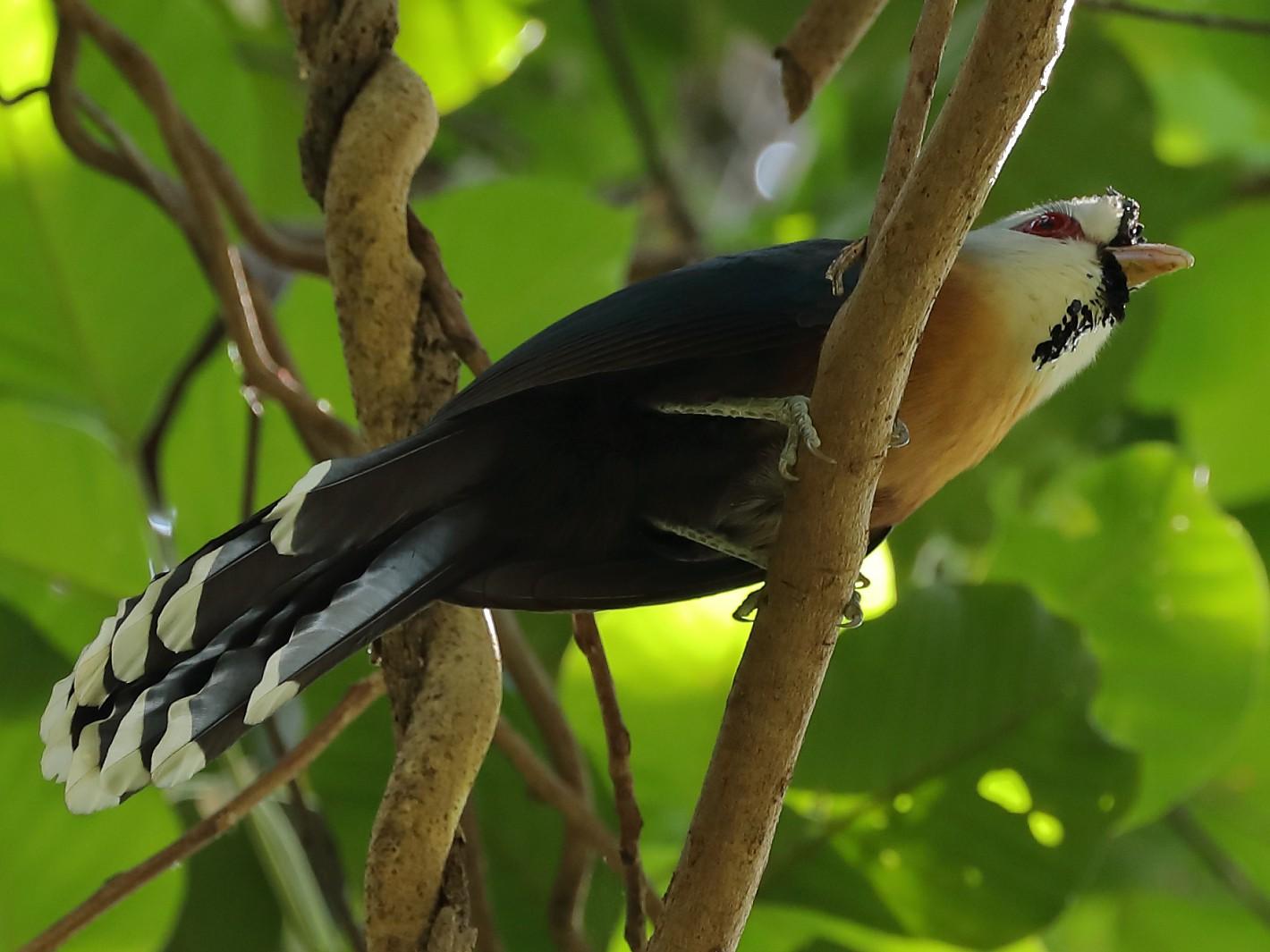 Scale-feathered Malkoha - Jeran Lin