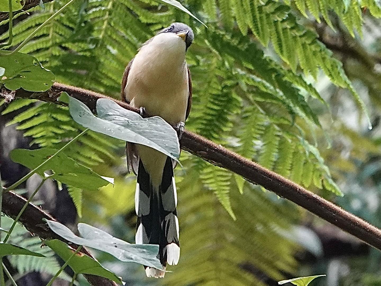 Cocos Cuckoo - Howard Laidlaw