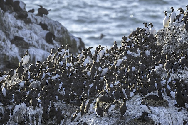 Group of Common Murres.