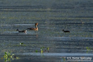 Fulvous Whistling-Duck, ML350630511