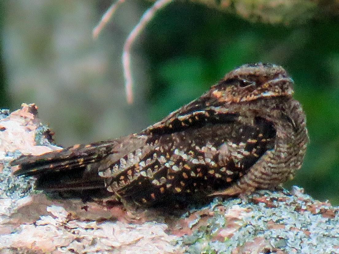 Solomons Nightjar - Phil Gregory | Sicklebill Safaris | www.birder.travel