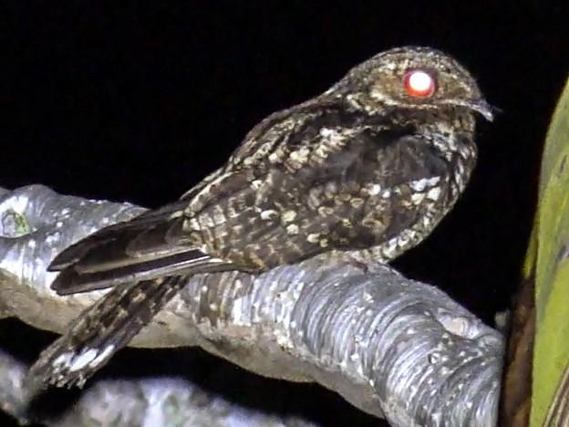 Palau Nightjar - Martin Kennewell