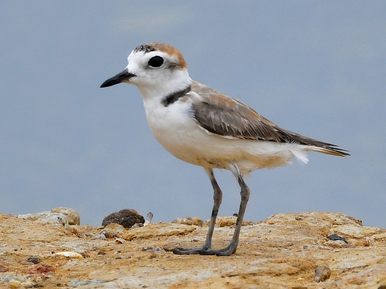 White-faced Plover - Ting-Wei (廷維) HUNG (洪)