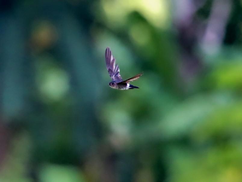 Pygmy Swiftlet - Stijn De Win