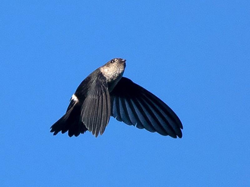 Pygmy Swiftlet - Ayuwat Jearwattanakanok