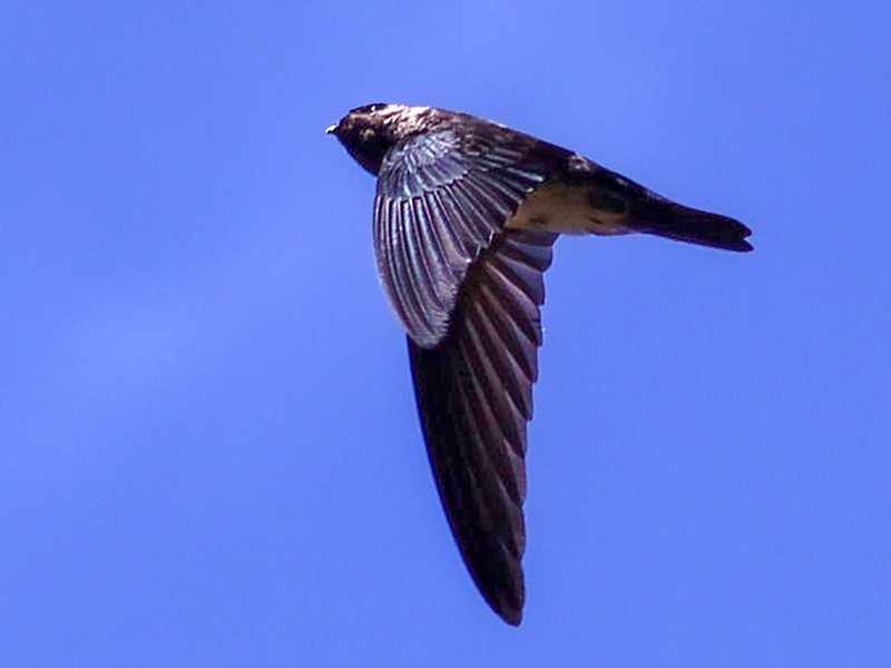 Christmas Island Swiftlet - jannette and peter manins