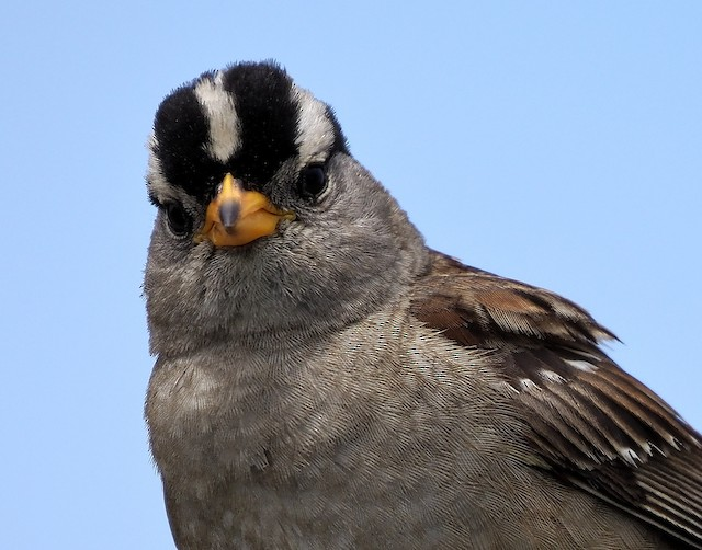 White-crowned Sparrow (Yellow-billed)