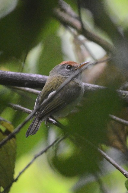 Black-and-white Tody-Flycatcher