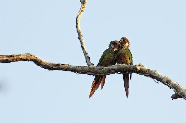 ©Caio Brito - Gray-breasted Parakeet