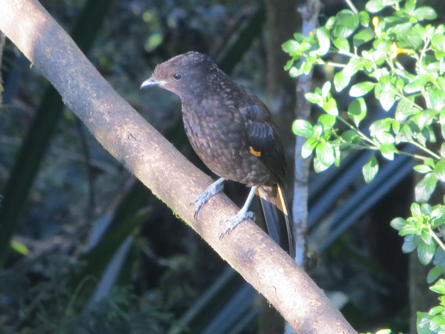 Archbold's Bowerbird - Shawn Loewen