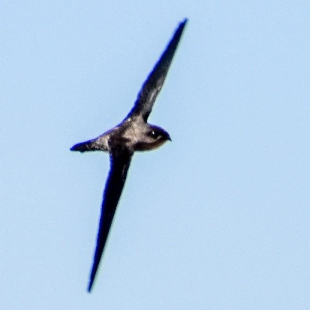 Asian Palm-Swift