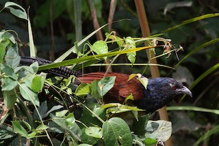 - Black-throated Coucal