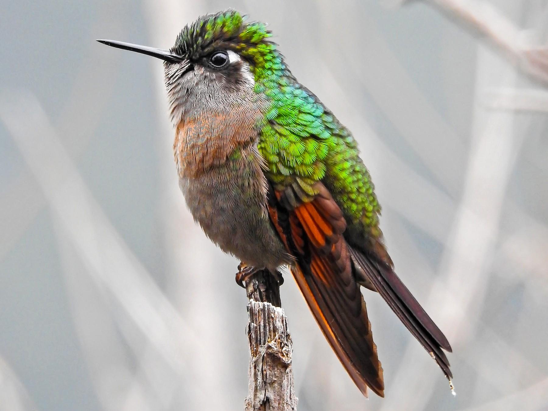 Garnet-throated Hummingbird - Evaristo Chocoy