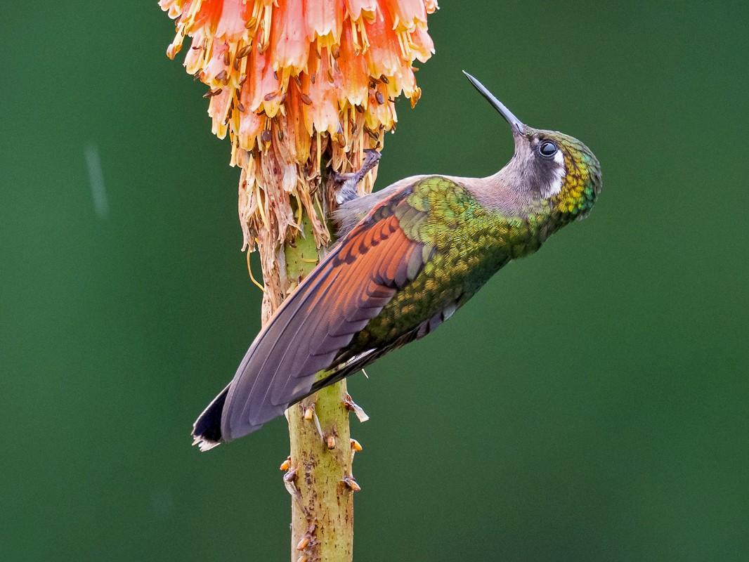Garnet-throated Hummingbird - Chris Fischer