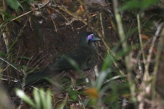 - Sumatran Ground-Cuckoo