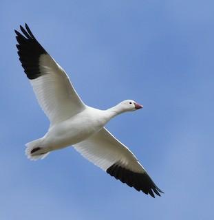 Ross's Goose, ML35360561