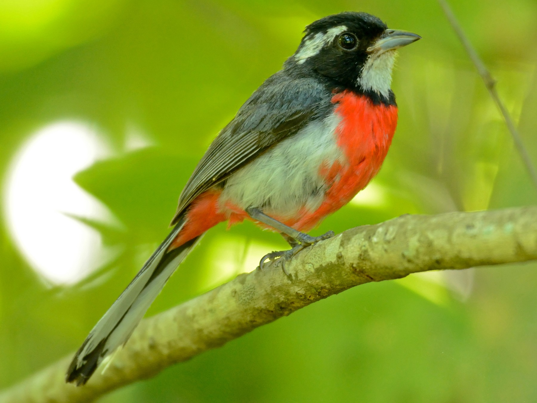 Red-breasted Chat - Miguel Aguilar @birdnomad