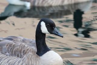 Canada Goose, ML353938711